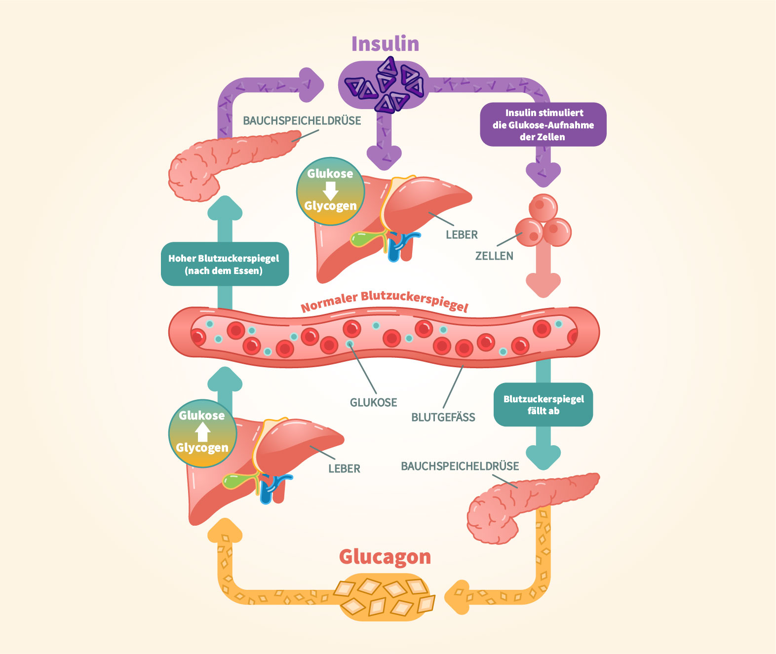 Glucagon » Fit and Shape by Science