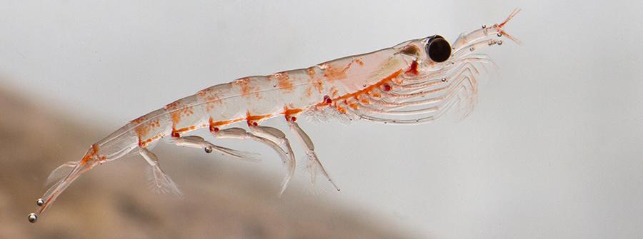 Krillöl - Krabbe